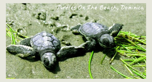 Turtles, Dominica Hike And Jazz Fest