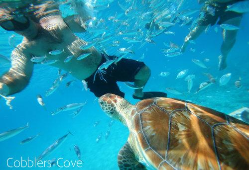 Cobblers Cove Turtles