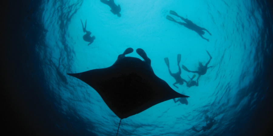 Snorkel with manta rays in Dominica