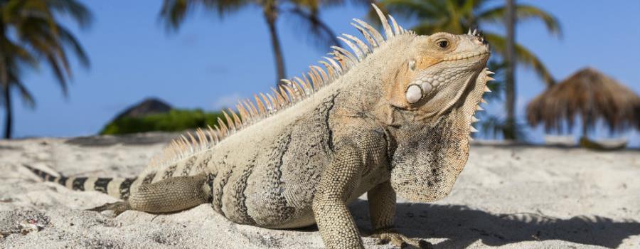 Iguana Palm Island
